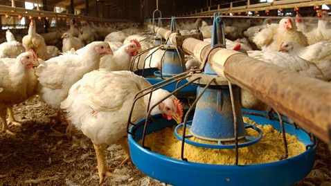 How to start a broiler chicken production business in Zimbabwe and the business plan