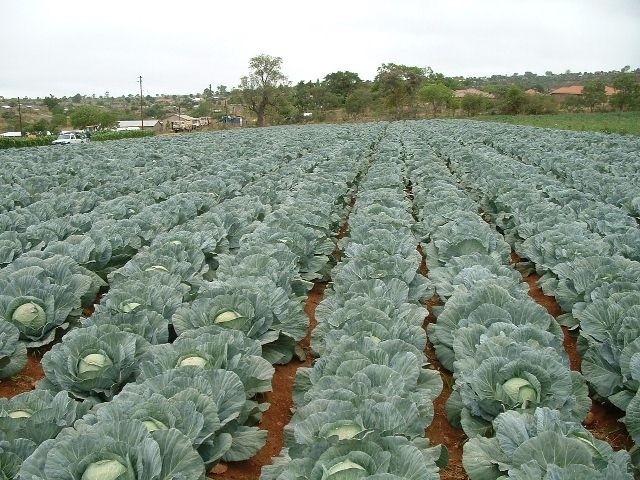 Starting Cabbage Farming Business In Zimbabwe and the Business Plan