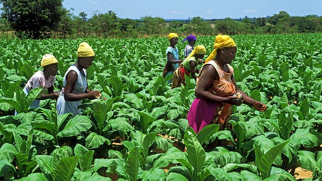 Tobacco farming business plan