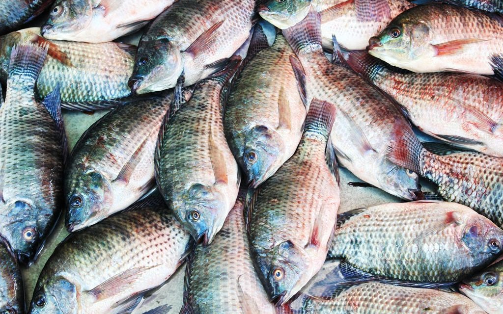 Starting tilapia fish farming business in zimbabwe and the for How to start fish farming
